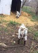 Pebbles the Goat
