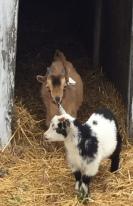 Goats named Horns and Steve